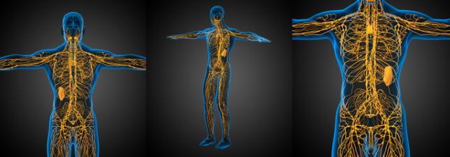 lymfatický systém, člověk